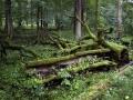 puszcza_bialowieska_obszar_ochrony_scislej_podlasie__dsc7895