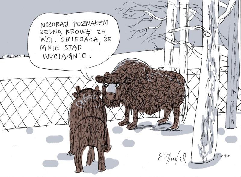 54-podlasie-krowa-ze-wsi